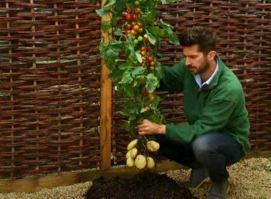 Tomtato - La pianta che produce pomodori e patate